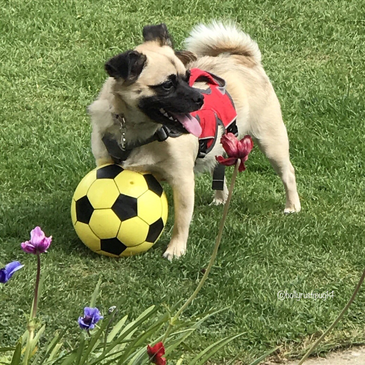 Happy #ThrowbackThursday everyone! Have a wonderful day! April 2017 - Playing football in Granny and Grandad's garden  #tbt #spring #garden #dogsoftwitter #dogsofinstagram pic.twitter.com/pmlo4glQgX