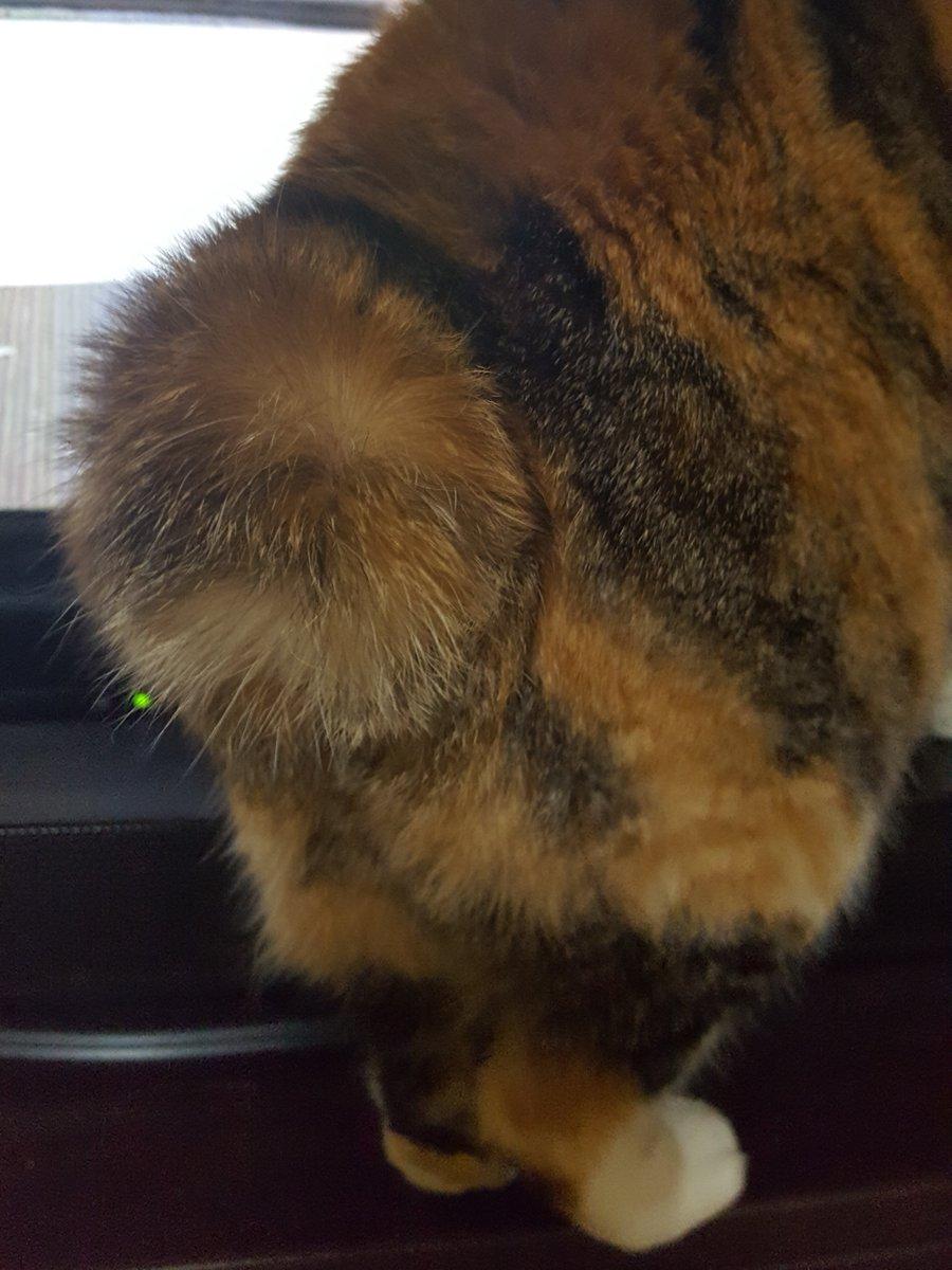 テレビ見てたら尻尾まん丸になっちゃっいました #猫の菊ちゃん