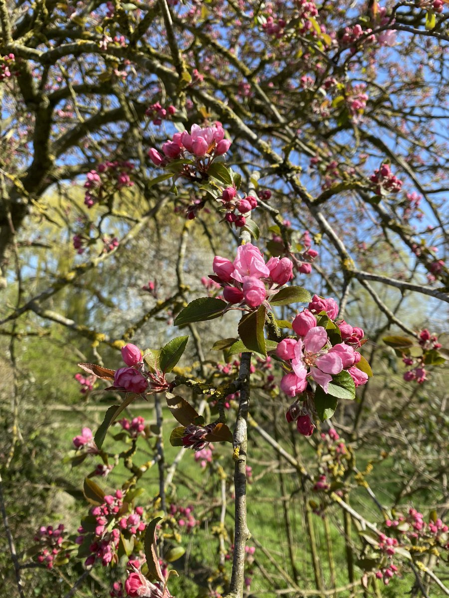 💜 Use all your senses for CRAB APPLE BLOSSOM. 💜 #nature #beauty #blessings #quiet #peace #mindfulness #spirituality #hope #energy #happiness #love #gratitude #positivevibes #wonder #heart #suffolk #calm #balance #special #sky #clouds #healthy #listen #truth #stayathome #pink