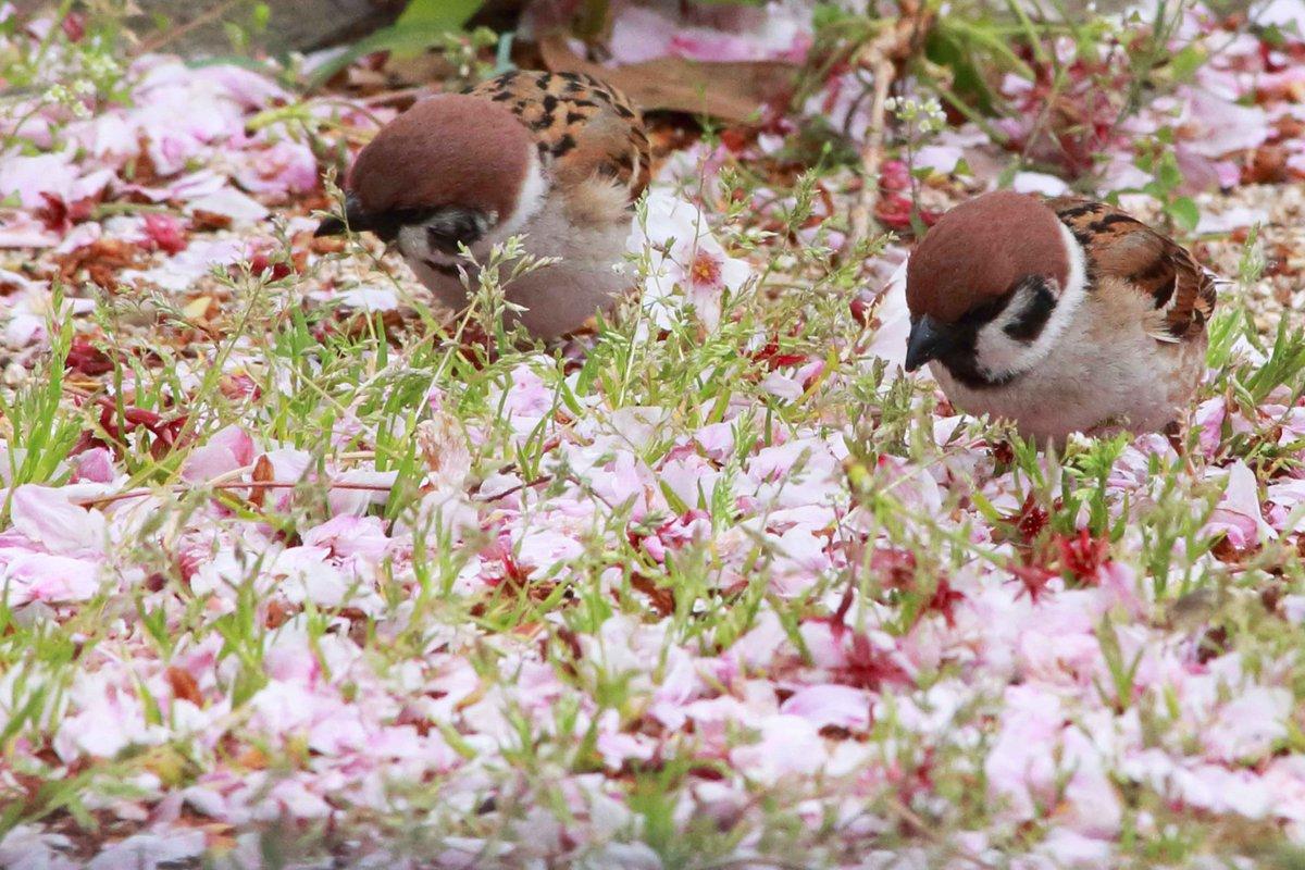 地面に積もった桜の花びら。「どこかに蜜が残ってないかなぁ」とスズメたちが探しています(。・ө・。)