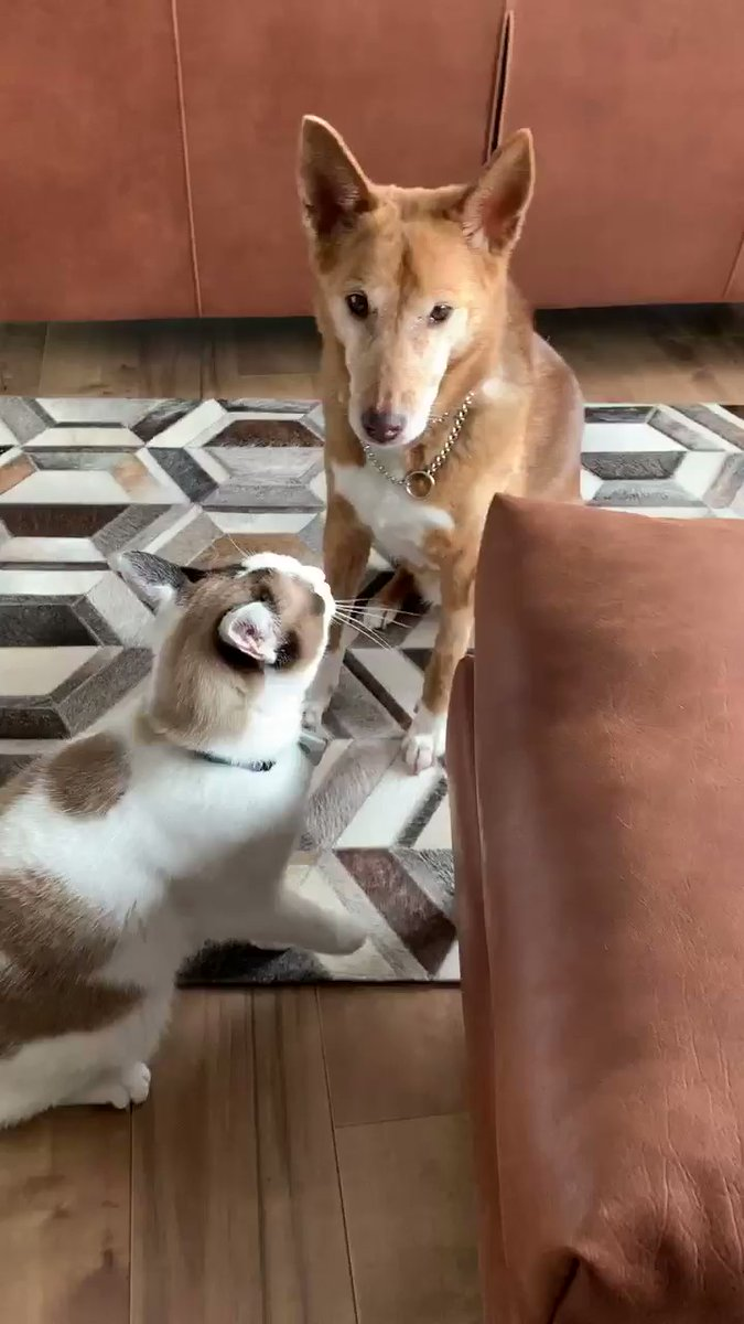 微動だにしないワンちゃんがかっこいい!画像提供:@nyorozo「「パンチできにゃい…」大好きな犬に精一杯ケンカを売る猫がいじらしくて愛おしい」 @togech_jpから #今日のネコチャン #猫好きさんと繋がりたい