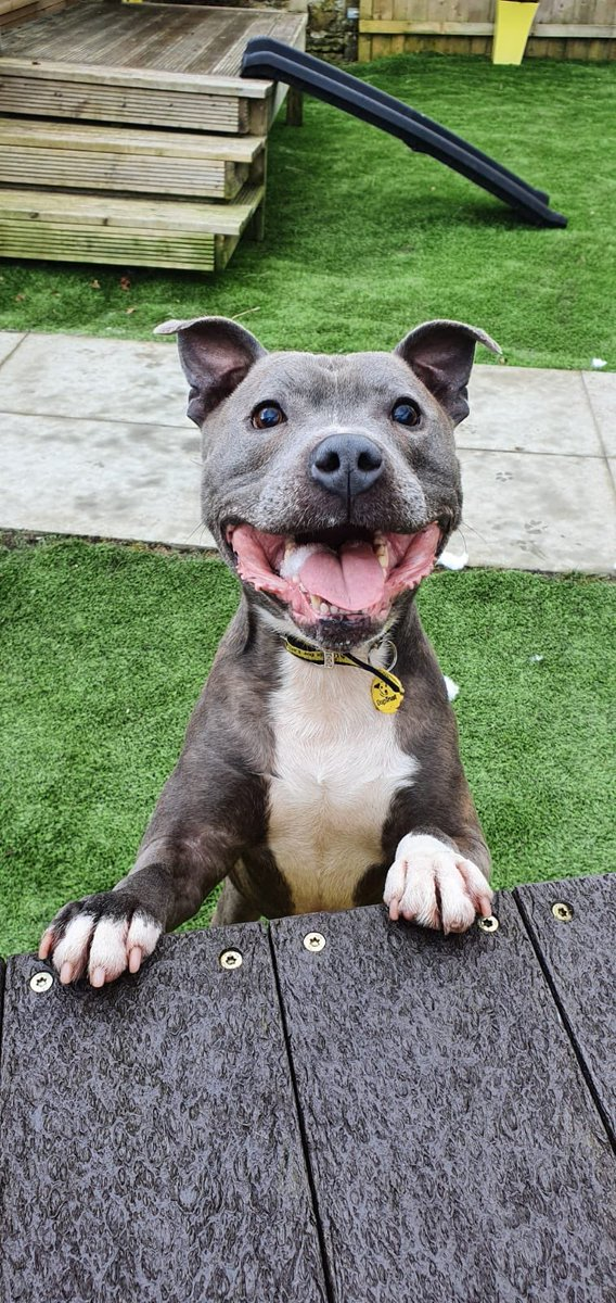 Theo  has the biggest smile ... we would love  to see pictures of all your lovely dogs smiling ... #smile #sbt #ThursdayMotivation #showusyoursmile #happydogs #DogsofTwittter #dogsofinstagram #adogisforlife #dogspic.twitter.com/vUW4InfOBf