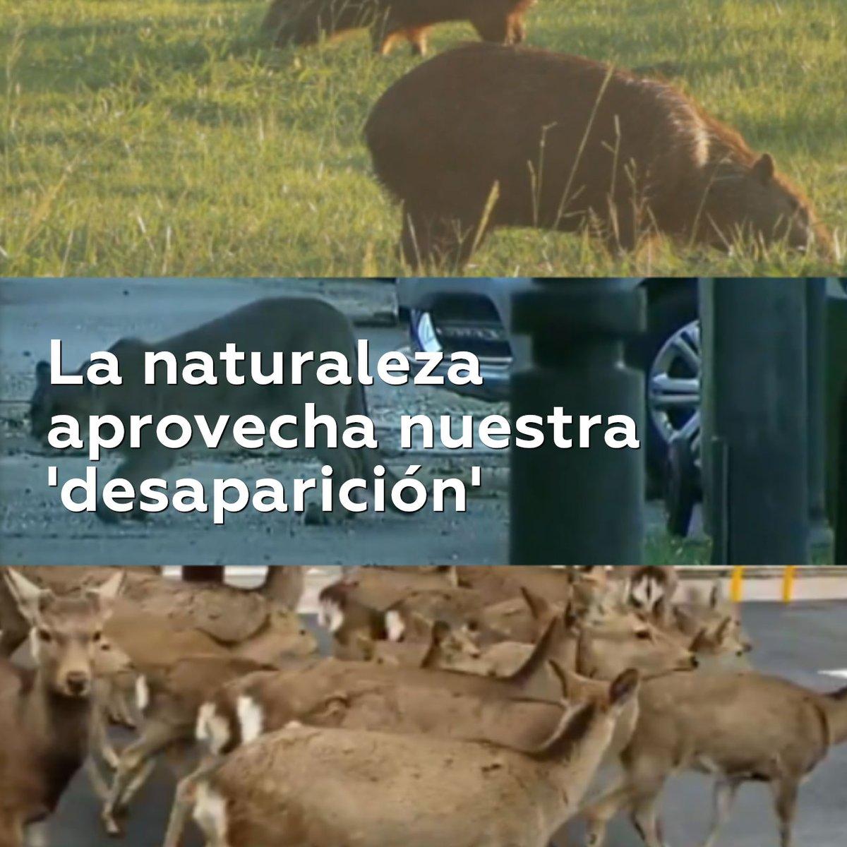 Jaguares y pavos recuperan sus territorios en zonas turísticas del mundo tras el cierre en casi todos los países del mundo por la pandemia de covid-19