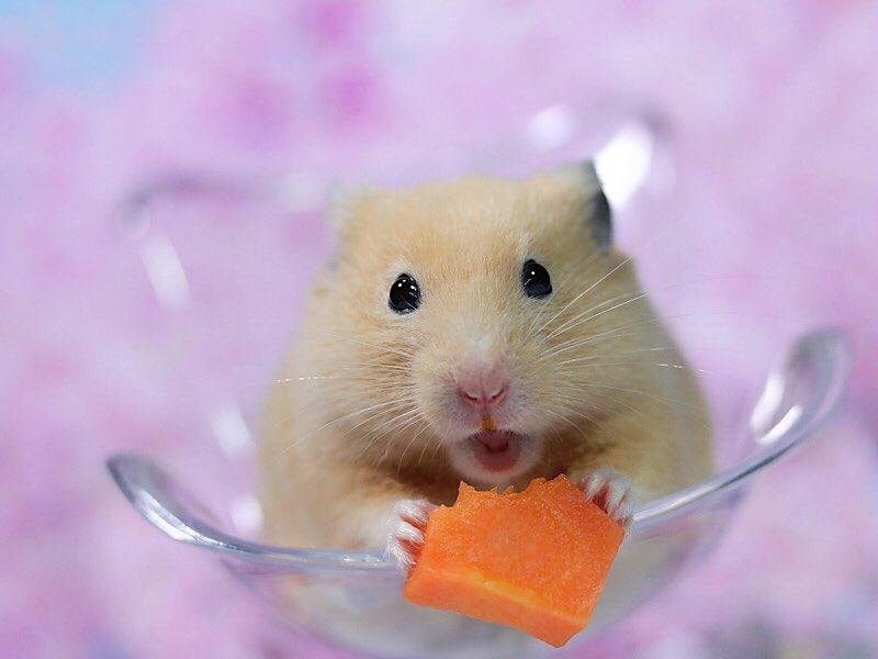 今日もうまうまでちた🐹💕今日もお疲れ様でした😊❤️#hamster  #ハムスター  #写真  #アメブロ  #新型コロナウイルス