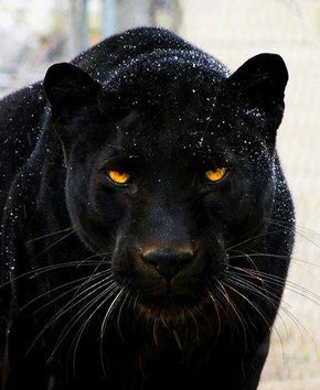 Black panthers #photos #animals #pantherspic.twitter.com/R4y64AjYkJ