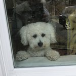 Would somebody please let me out?  Cute Beau the #Bichon