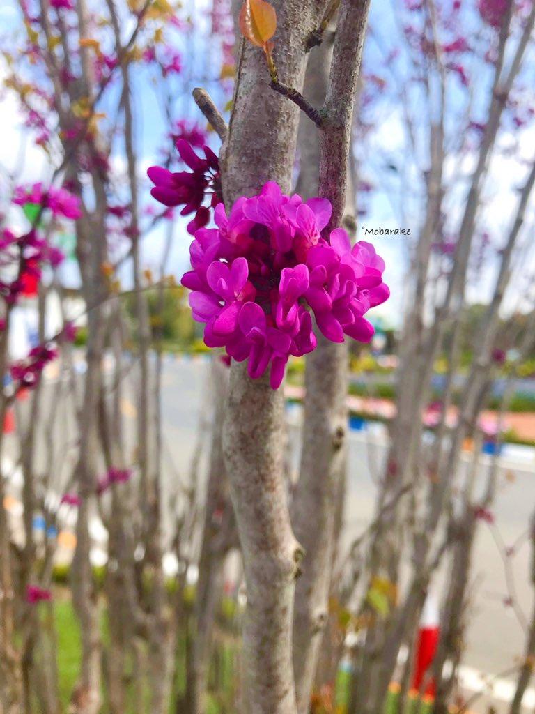 ارغوان! بیرق گلگون بهار، تو برافراشته باش... #هوشنگ_ابتهاج 🌿 . 📷: بهار دو سال پیش . . . . . . #گل #ارغوان #بهار #فروردین #طبیعتگردی #طبیعت_زیبا #عکاسی_طبیعت #عکاسی #magenta #flowers #flower #nature #naturephotography #photography #spring