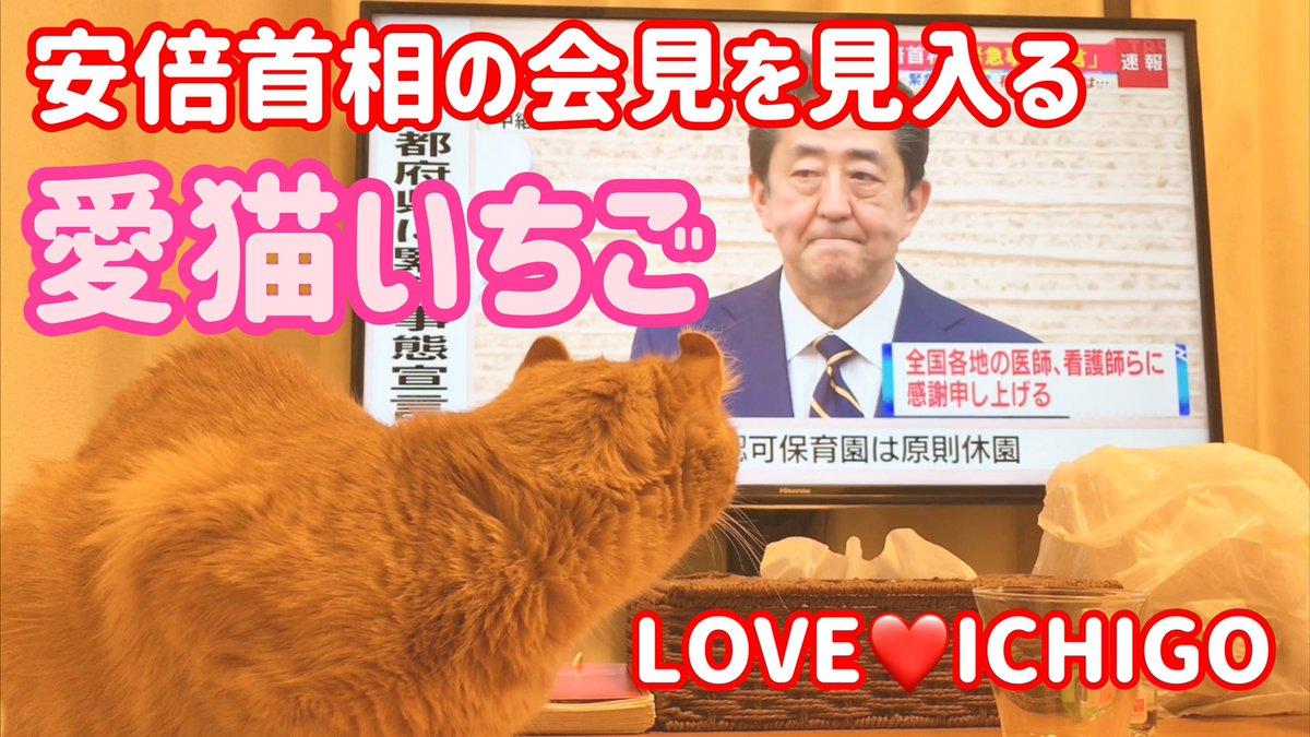 愛猫いちご♡ 安倍晋三にカツ⁉️ YouTubeニャンネルLOVE❤️ICHIGO絶賛更新中です👇👆#日本経済 #緊急事態宣言 #安倍晋三 #新型コロナウイルス  #全て猫ちゃんに幸せを #いちごに感謝 #猫 #ねこ #にゃんこ #アメリカンカール #茶トラ  #ネコ  #cat #cats #いちご