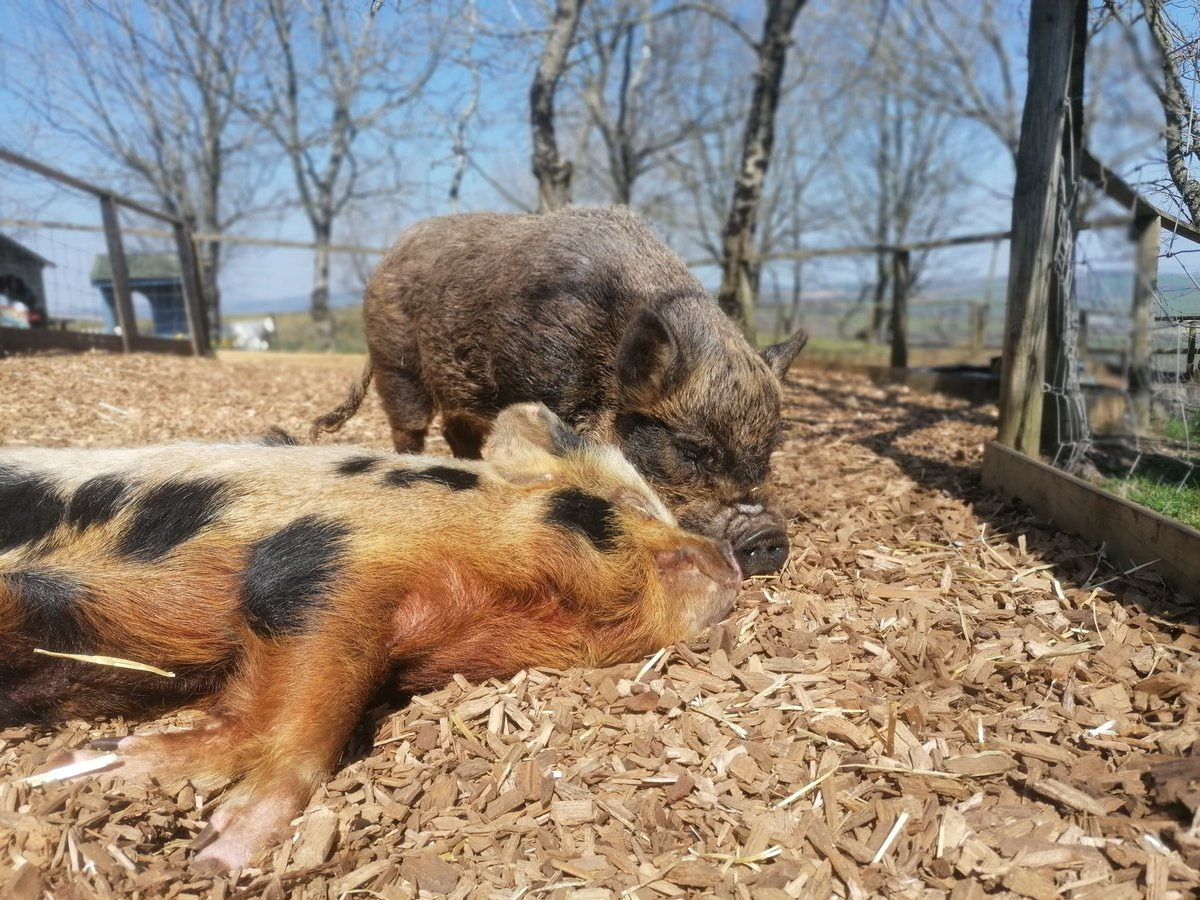 Here is Mr Sparkles & Bean enjoying the sunshine from their garden🌿🏡😍🐷❤️☀️😎 Share your pictures with us of you enjoying the sun from your own home 🏡😎🌻