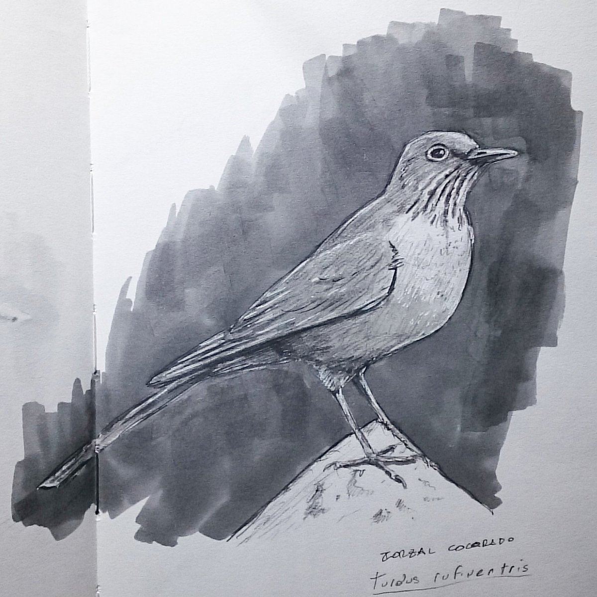 Zorzal colorado (_Turdus rufiventris_) #aves #avesargentinas #dibujo #drawing #sketch #sketchingnature #naturesketching #naturejournaling #naturejournal #wildlife #boceto #cuadernodebocetos #ebirdargentina #quarantine #sketchinginquarantine #cuarentena #dibujandoencuarentenapic.twitter.com/YCeJG1Yzsy
