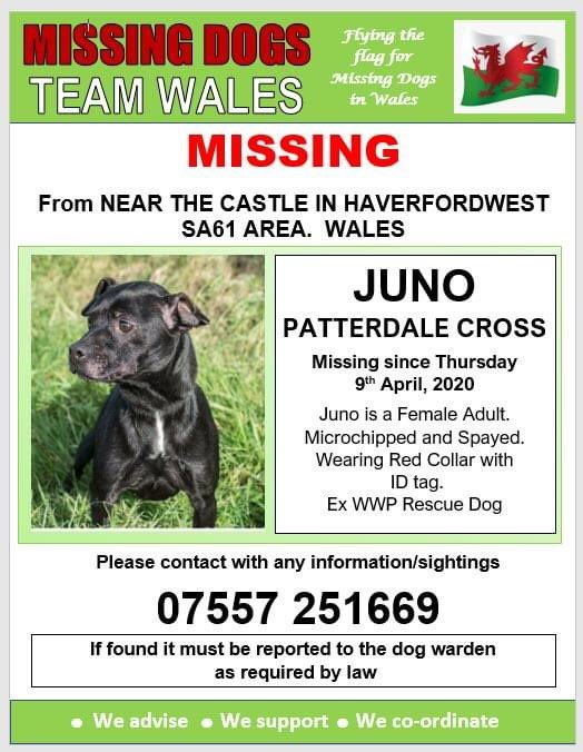 💥#MISSING FROM NEAR THE #CASTLE IN #HAVERFORDWEST, #SA61 AREA #WALES  SINCE WEDNESDAY 8th APRIL, 2020💥 Microchipped and Spayed. Ex #WWP #RescueDog 🆘🆘🆘🆘 @HaverfordwestFC @HwestLadiesRFC @HaverfordwestNP @HaverfordwestCC @HWestFire @mazzy1412 @ruthwill64 @juliagarland73