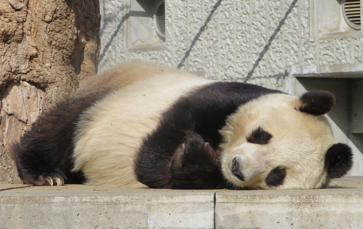 春の陽気に誘われて、気持ちよくお昼寝しているタンタンさんです。皆さんも一緒に眠っちゃわないように、気を付けてくださいね😆#きょうのタンタン #ジャイアントパンダ #タンタン #王子動物園#神戸市 #休園中の動物園水族館 #お昼寝タンタン(5/6まで休園中です。)