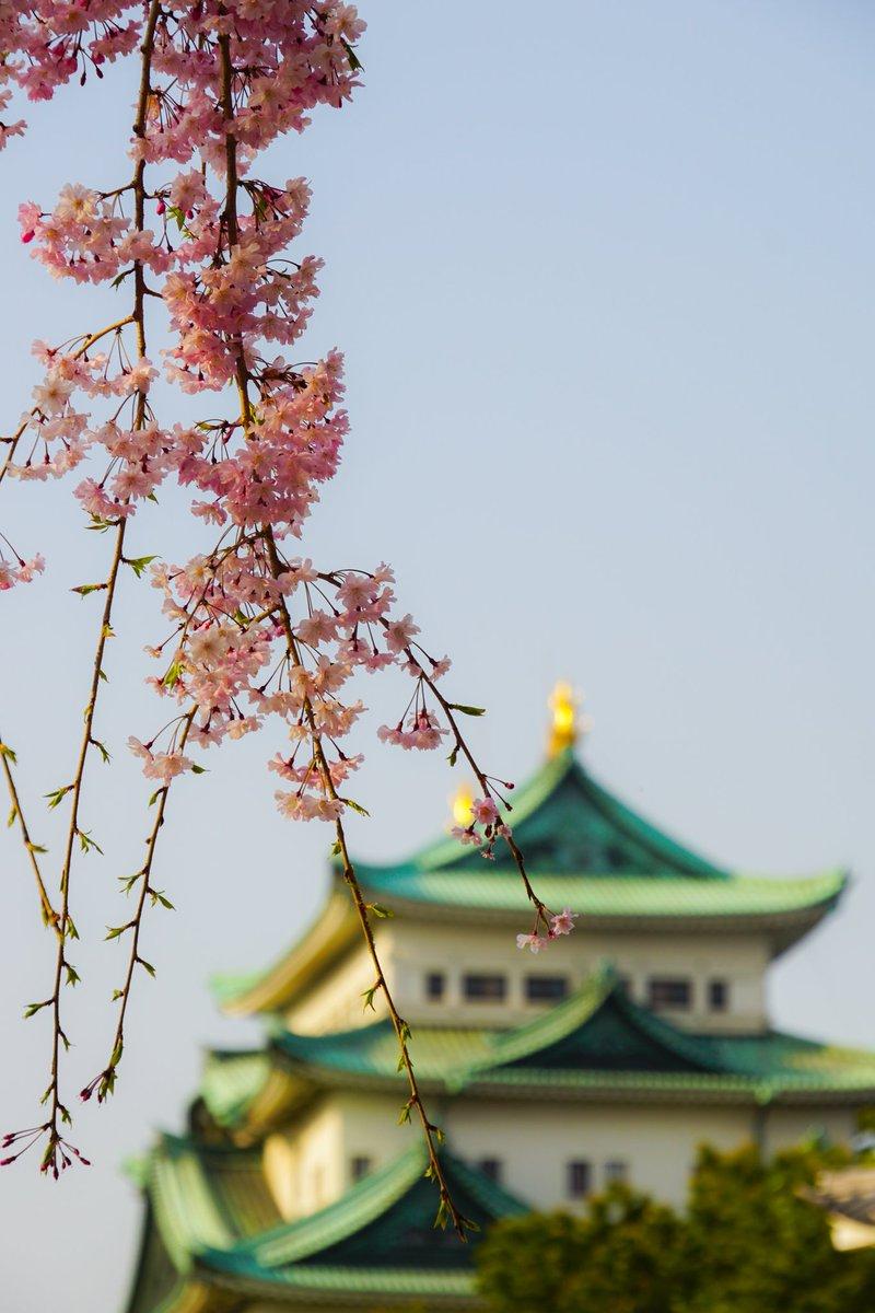 桜と名古屋城 もう既に散り始めてますね コロナウイルスに気をつけて、過ごしましょう!  #うちで過ごそう #名古屋 #nagoya #名古屋城 #castle #桜 #cherryblossoms