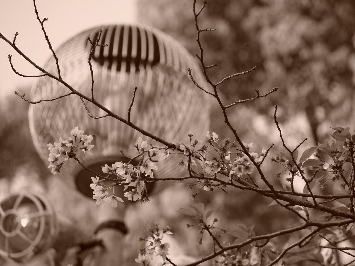 春の終わり #photo #photographer #ファインダー越しの私の世界 #さくら #キリトリセカイ