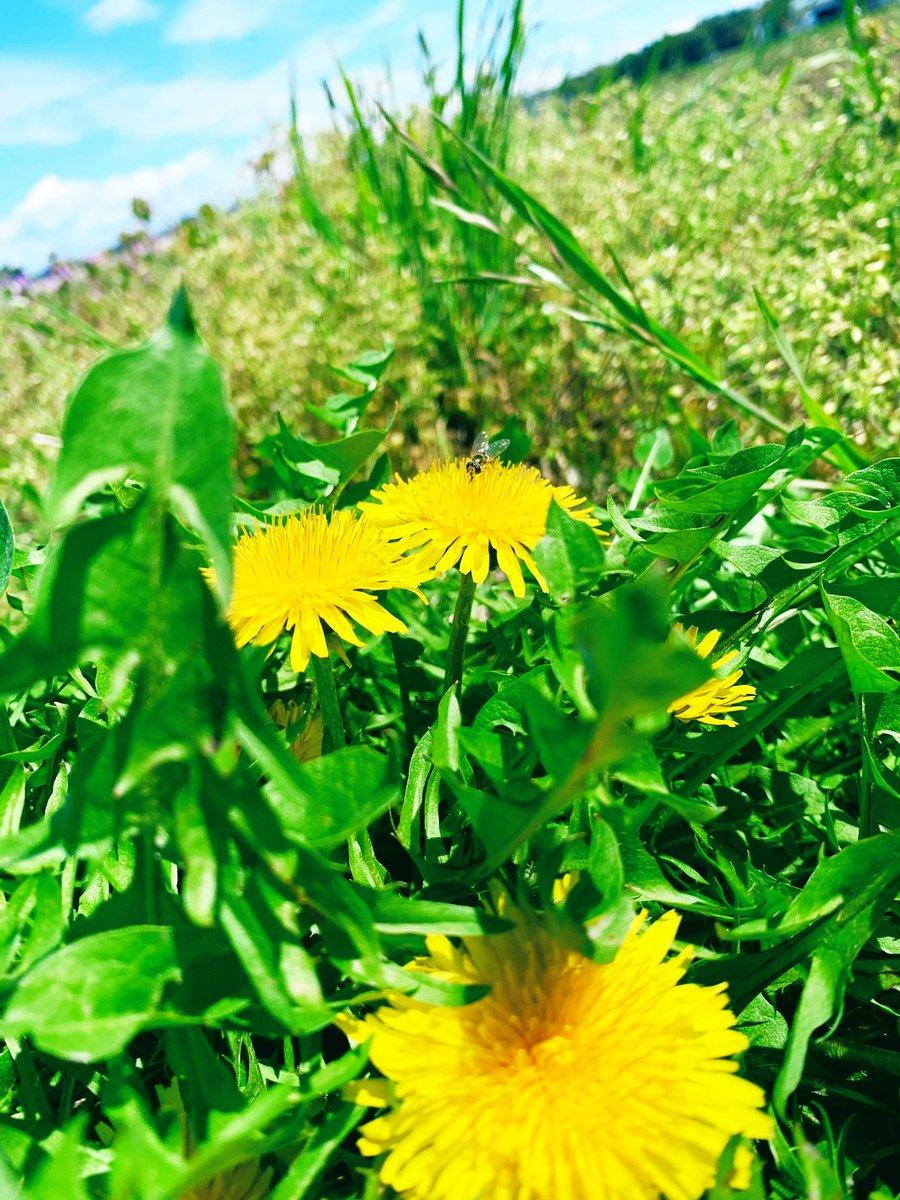 タンポポ咲いてた😋  撮ってる途中で気がついた…🐝!!!  びびるぅw  #たんぽほ  #花  #蜂  #写真好きな人と繫がりたい  #写真 #iphone #photo