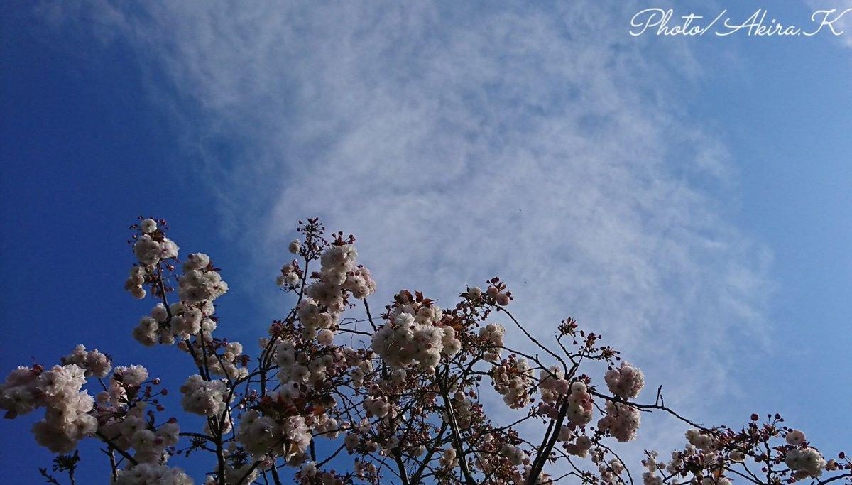 どことなく初夏を感じる空に八重桜  #ファインダー越しの私の世界ᅠ  #photo