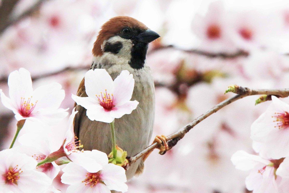 散り始めた桜の枝で、残った花の蜜を探しているスズメ。ゆく春を惜しんでいるようにも見えます(。・ө・。)