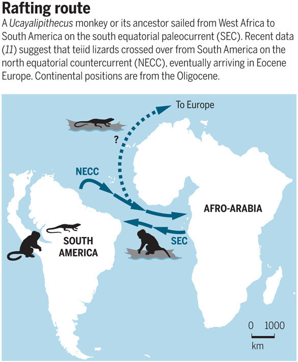 Map of South America and Africa showing possible rafting routes for primates and lizards across the Atlantic Ocean. Credit: A. Kitterman, Science <a href=