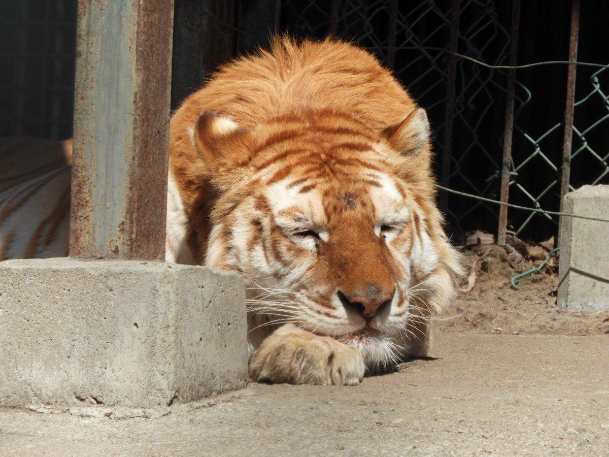 ボルタはいつも通りたくさんお昼寝をして、普段と変わらぬ日々を過ごしています🐯💤コロナが落ち着いたら是非会いに来て下さいね😊#困り顔 #お昼寝大好き#ポカポカ陽気 #気持ちいいね#ボルタのいる生活#tiger #ベンガルトラ