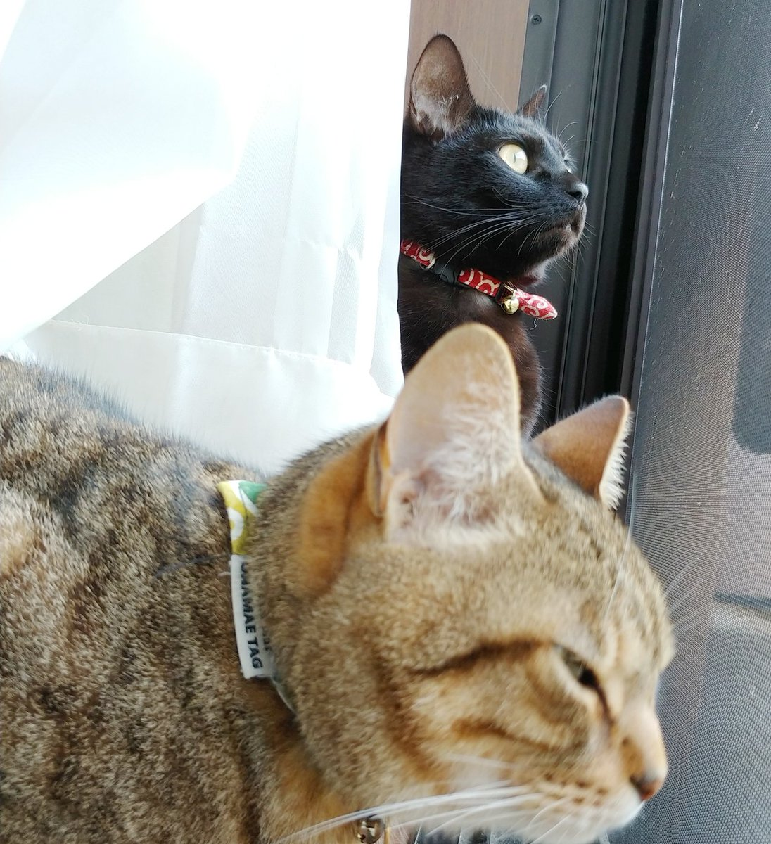 723日目。外も気になるがカメラも気になる。いちいちチラッ!チラッ!とこちらを確認する黒猫。キジトラは特にこちらに興味を向ける素振りもなく悠然と風を感じていた。