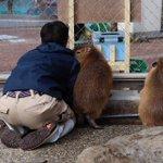 お客さん来ないね。桂浜水族館のカピバラと飼育員さんによる密会?可愛い