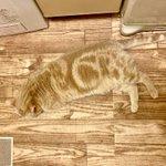 擬態化した猫!床とそっくりすぎる!かわいい!
