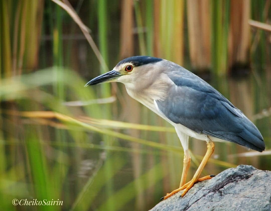 The Black-Crowned Night Heron (Nycticorax nycticorax)  This heron is small, at about 24 inches tall, and has a habit of standing in a way that makes it looks plumper and stockier than other herons. @BirdWatchingMy #blackcrownednightheron #bird #birds #sgbiodiversity #omdem5pic.twitter.com/jVUje29FT7 – at Gardens by the Bay