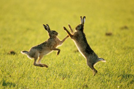 How lovely to receive an email from a member of public, who lives in an area, we have been targeting the cruel offences of #harecoursing & #wildlifecrime in. Saying how nice it was to see hares running & jumping together without persecution!  #opgalileo  @EP_GTRET  @PcAndyLong<br>http://pic.twitter.com/eRj8Ra8Gvw