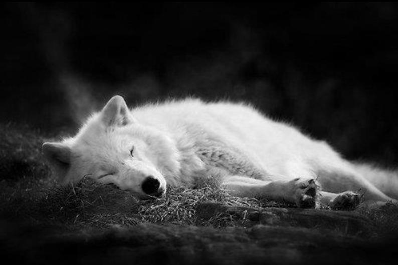 вроде сонный волк картинки идеальный