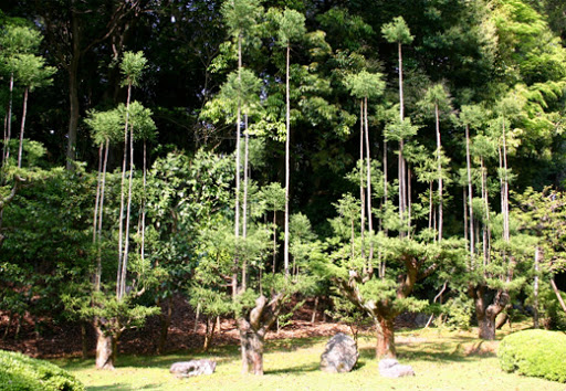 The daisugi looks very peculiar, so even when demand for the lumber dropped off in the 16th century demand for them in ornamental gardens kept the forest wardens busy.
