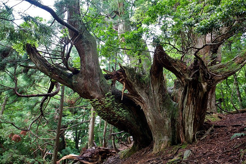 Here and there in the forests around Kyoto you will find abandoned giant daisugi (they only produce lumber for 200-300 years before being worn out), still alive, some with trunk diameters of over 15 meters. Out of this world beautiful.