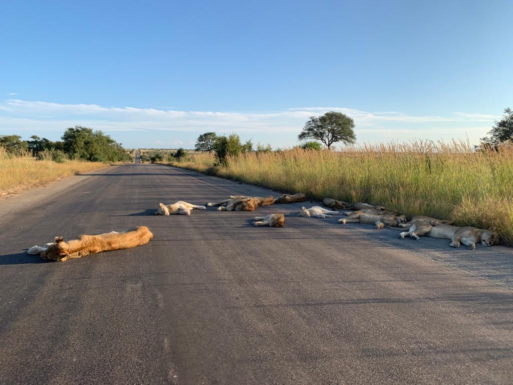 Kumpulan singa tidur siang di tengah jalan