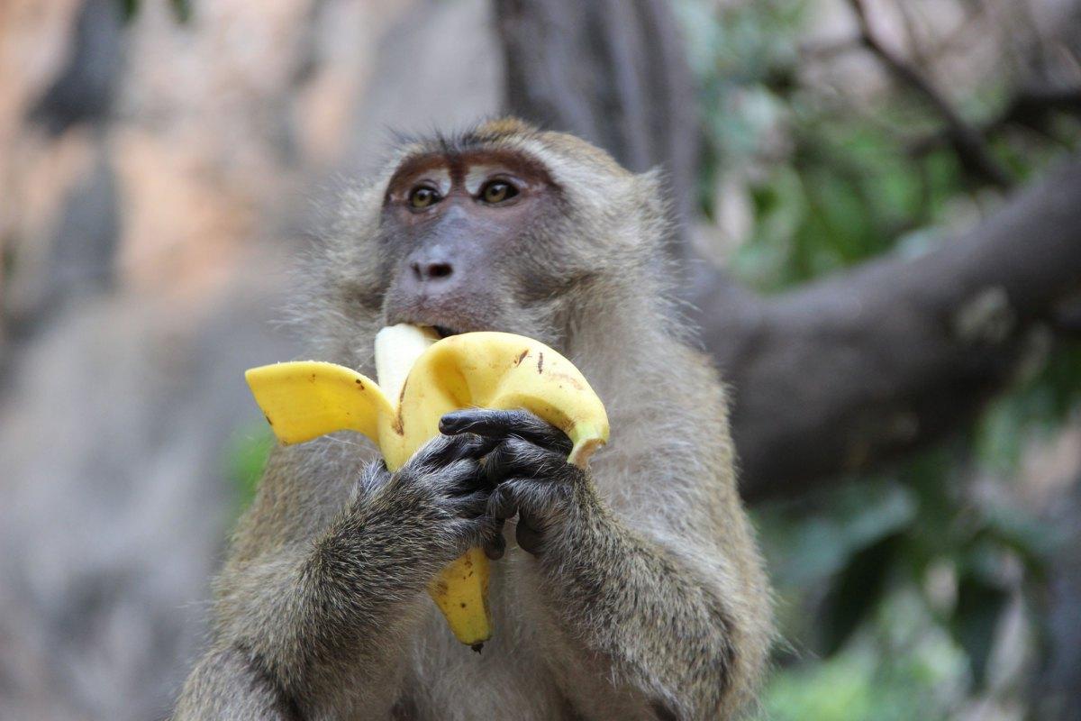 кухонный обезьяна с бананами в картинках удобные