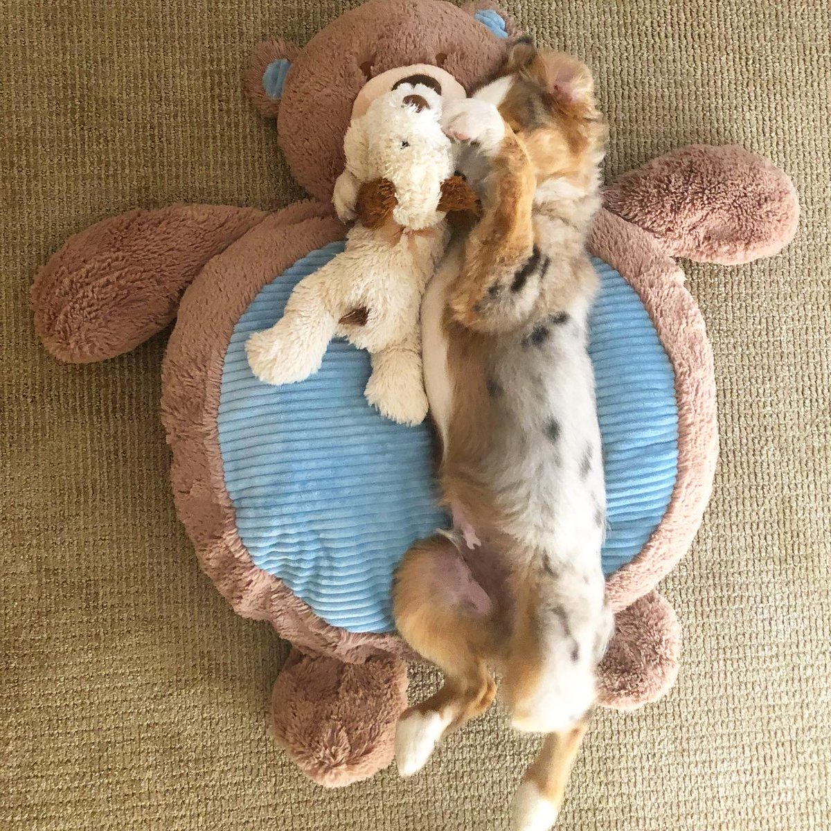 Really, isn't it friday yet? @WeLoveDogsUSA @dog_rates @lovedogandco @dog_feelings #thecuriousmaxx  #australianshepherdsofinstagram #aussielove #aussies #aussiesdoingthings #miniamericanshepherd #australianshepherd #aussie #miniaussie #aussielovers #australianshepherdspic.twitter.com/2dK0NUQN8D