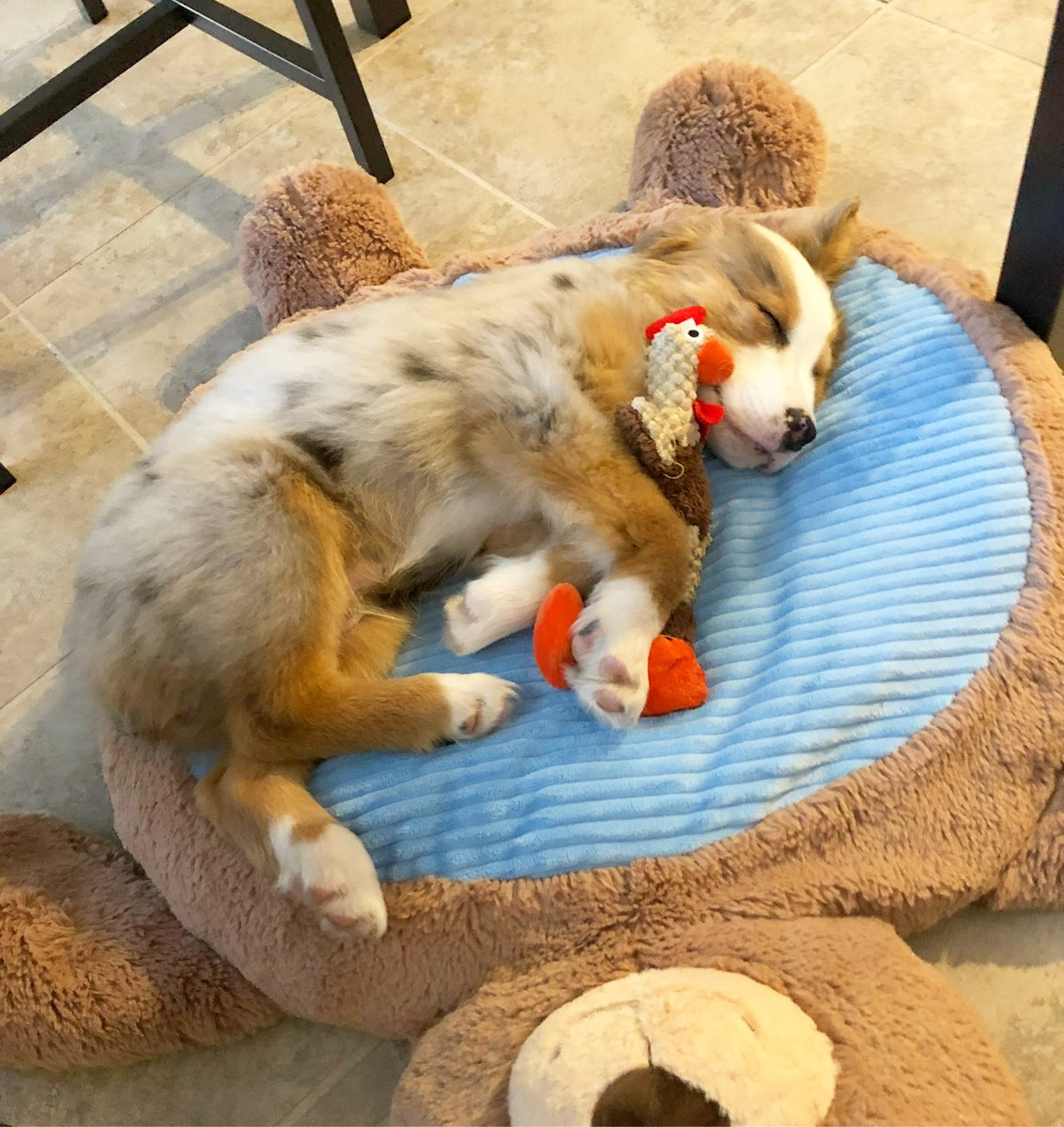 #australianshepherdsofinstagram #aussielove #aussies #aussiesdoingthings #miniamericanshepherd #australianshepherd #aussie #miniaussie #aussielovers #australianshepherds #thecuriousmaxx @dog_feelings @aussiesdointhgs @IvePetThatDog @DogsTrust @dogsquadtv <3pic.twitter.com/NhSAb4vDzn
