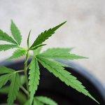 Image for the Tweet beginning: #CBD #THC #marijuana City of