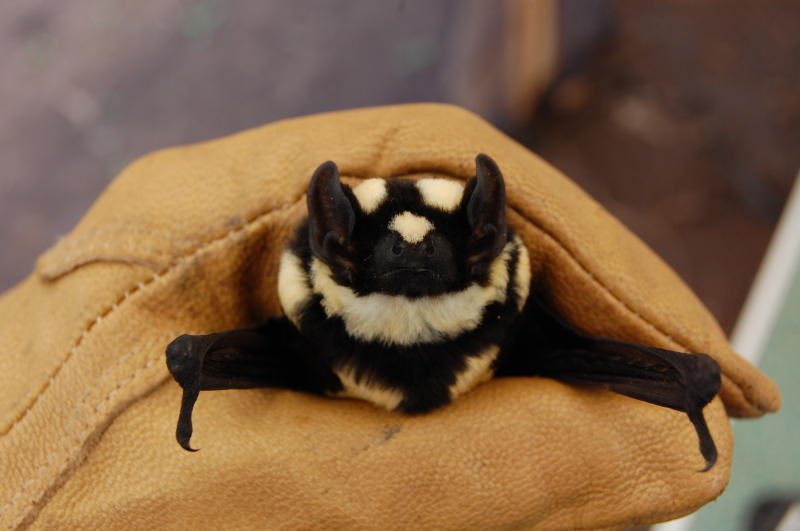 #BatAppreciationDay to my favorite stripy bat the rare Pied Bat. He looks like a big bumble bee