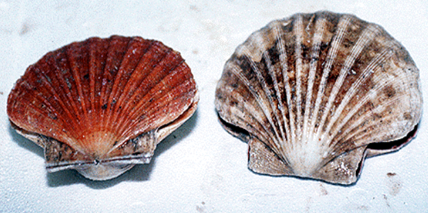 The Welsh Scallop Fishery has now closed as at 23:59 30 April 2020. #ScallopFishery #Scallops #Welshscallops