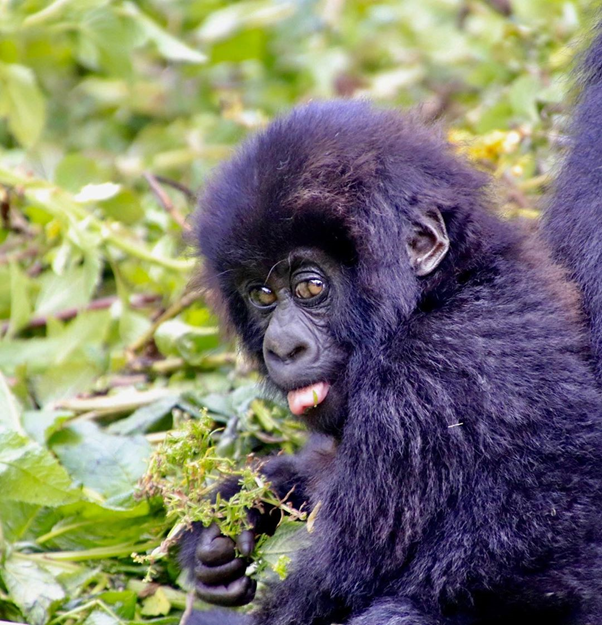 This little fellow is no doubt still eating leaves & playing with his brothers & sisters, oblivious to the fact that the world outside is a very changed place #tourtheplanet #travel #tour #tourist #tourism #uganda #ugandasafari #ugandatravel #gorillatrekking #gorillasafari https://t.co/0YYYheVfV8