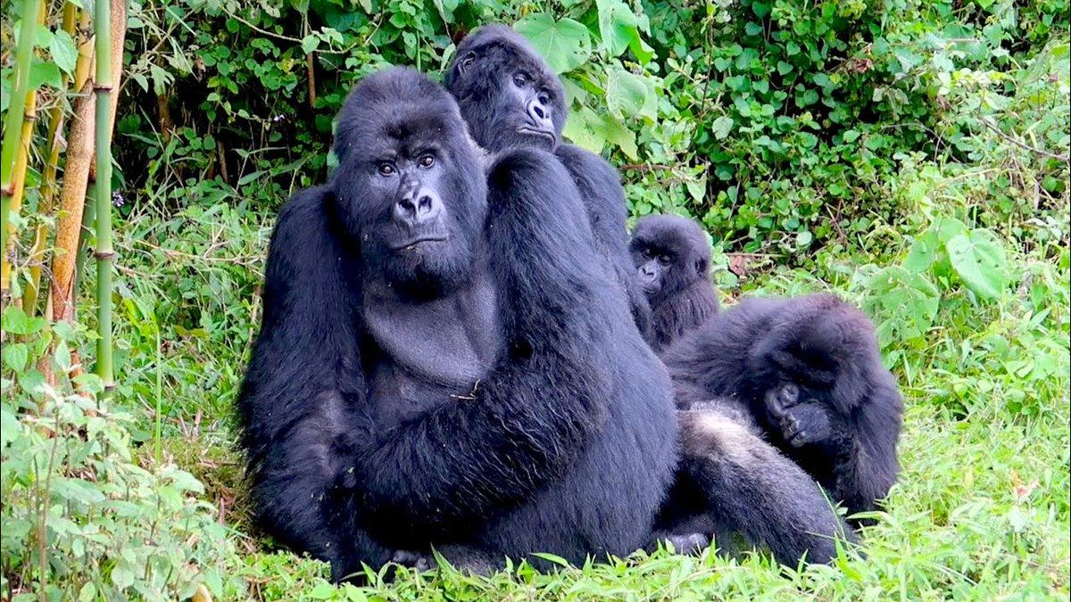 All eyes on the road eagerly waiting to see you again soon after COVD-19. https://t.co/It2iyUPNAZ #Rwandasafaris #VisitRwanda #gorillasafaristour #wildlifesafari https://t.co/jwV7zmPnmd