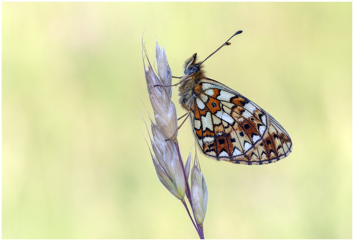 #AprilButterflyMonth Day 30 #Boloriaselene Four images of the fabulous Small Pearl Bordered Fritillary, all taken in Poland. @europebutterfly https://t.co/rKywM61gbC