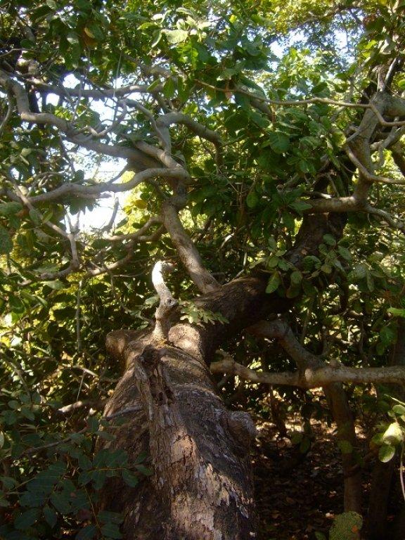 Detarium senegalense''Ditax''🇸🇳🌴est une espèce d'arbre africain de la tribu des Detarieae.Contrairement à la plupart des Fabacées,il produit des fruits sphériques. Il a pour noms vernaculaires ditax, detar et « arbre à suif » 👇 https://t.co/YSS3nVrS68