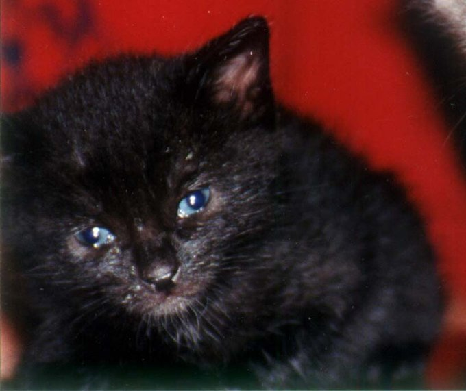 Very tiny ball of black kitten