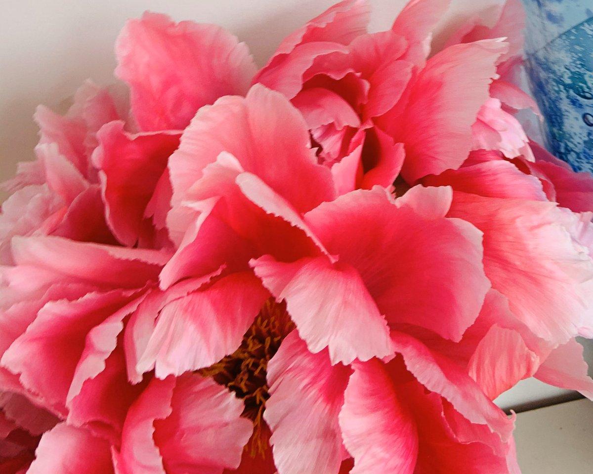 Petals of Peonies... #tree #peony #garden #flowers     pic.twitter.com/INawMSR20Z