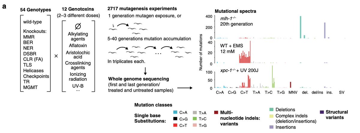 Tired of C19 preprints? Read this: My student @NadezdaVolkova1 & collaborators completely took apart how mutational signatures are sculpted by DNA damage and repair. We grew and sequenced > 2700 worms from 53 repair KO's exposed to 11 mutagens. Phew. 1/7 https://t.co/QAcZrcvoCm https://t.co/LJc4TJOKix