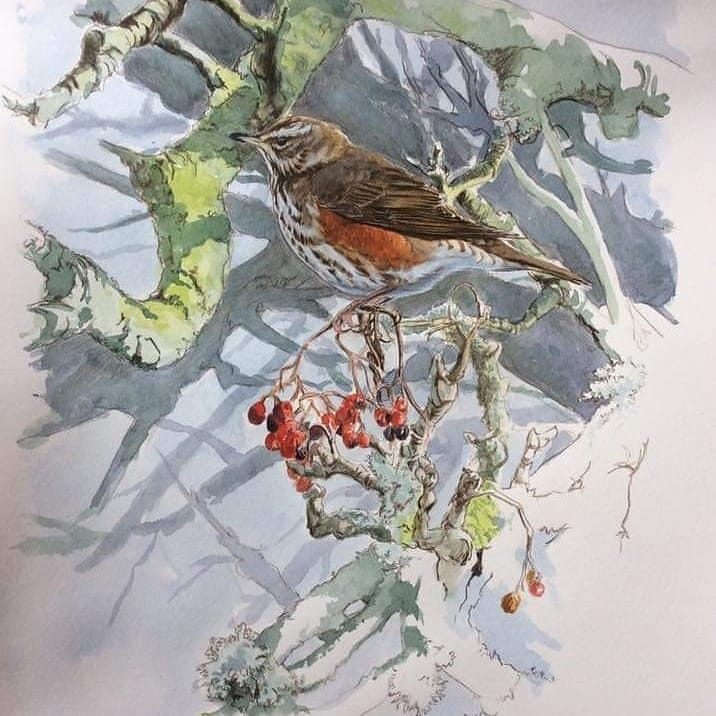 These 2 watercolour originals are still available framed or unframed. Contact me if interested. 😊 #birdart #wildlifeart #redwing #brambling #watercolour #originalart https://t.co/nzstwLAZM9
