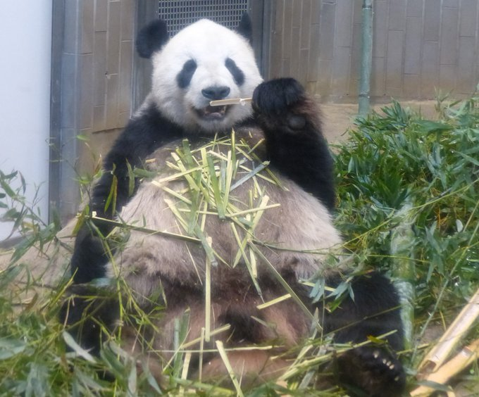 上野 動物園 デイパン 「臨時休園中のパンダはどうしている?」「竹は足りている?」上野動物園に根掘り葉掘り聞いてみた(文春オンライン)