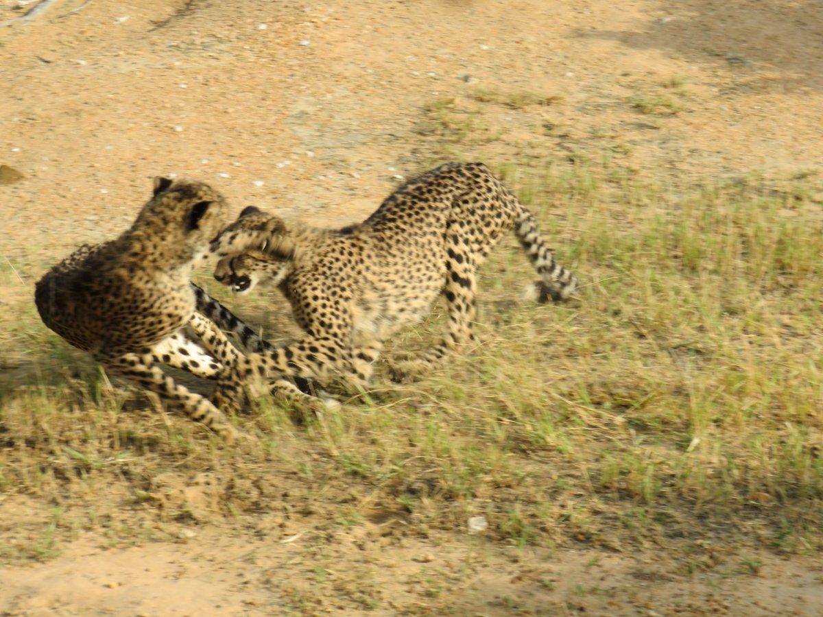 Playtime for these cheetahs  Johnson Ntimane  http://www.garonga.com/safaris  #Cheetah #BigCats #PlayTime #Safari #GameDrive #MakalaliConservancy #GarongaSafariCamp #SouthAfrica #Travel #Adventure #AfricanWildlifepic.twitter.com/Fz3C0uABM2
