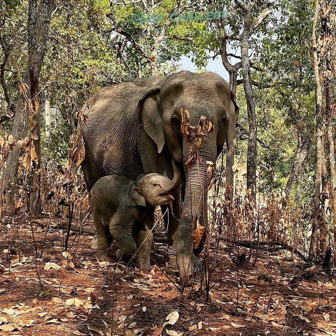 """""""This weekend #LekChailert visited the elephant project that was affected badly by forest fires.""""  - #elephantruths https://www.instagram.com/p/B_NezlwDkON/pic.twitter.com/NkPXdUmrfU"""