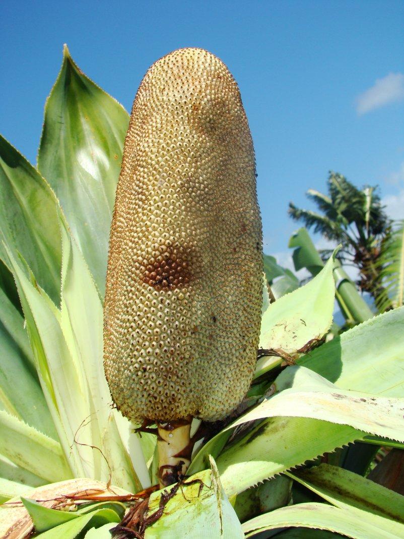 """Kew Madagascar on Twitter: """"POTD - Pandanus platyphyllus(IUCN NT ..."""